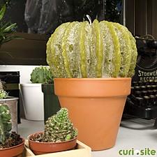Vela Cactus Mediana