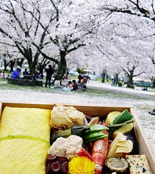 Cherry blossoms and Obento