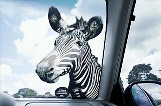 A very realistic zebra by your car